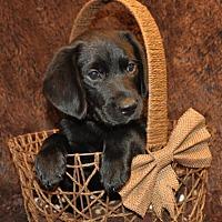 Adopt A Pet :: Gutsy (puppy) - Crocker, MO