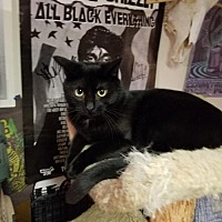Domestic Shorthair Cat for adoption in Oakhurst, New Jersey - Midnight