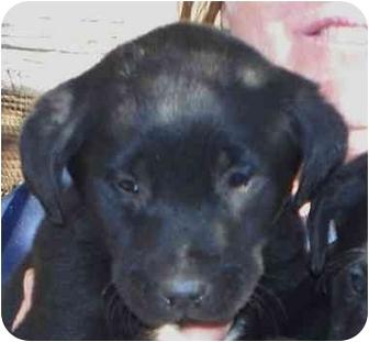 Labrador Retriever Puppy for adoption in Lexington, Missouri - Sissy