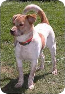 Australian Cattle Dog/Australian Cattle Dog Mix Puppy for adoption in Oxford, Michigan - Newman