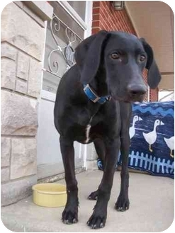Labrador Retriever Mix Dog for adoption in Salem, Massachusetts - Jesse