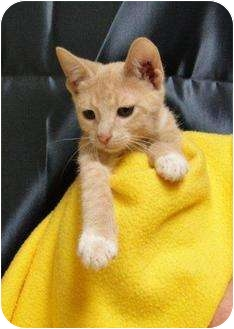 Domestic Shorthair Kitten for adoption in Orlando, Florida - Crash