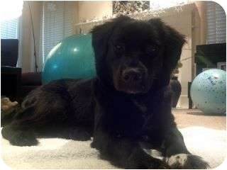 Flat-Coated Retriever/Border Collie Mix Dog for adoption in Plainfield, Illinois - Zayla