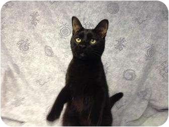 Domestic Shorthair Kitten for adoption in Orlando, Florida - Zoro