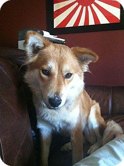 Labrador Retriever/Chow Chow Mix Dog for adoption in Manassas, Virginia - Bella