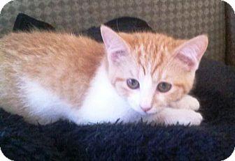 Domestic Shorthair Kitten for adoption in sarasota, Florida - China