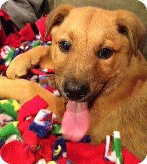 Labrador Retriever/Shepherd (Unknown Type) Mix Puppy for adoption in Baltimore, Maryland - Mufasa
