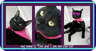 Domestic Shorthair Cat for adoption in Corpus Christi, Texas - Toni