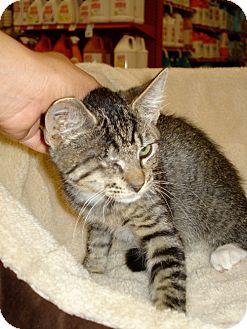 Domestic Shorthair Kitten for adoption in San Dimas, California - Foose