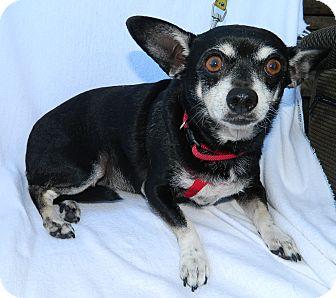 Chihuahua Dog for adoption in Umatilla, Florida - Chi Chi