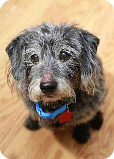 Yorkie, Yorkshire Terrier/Cairn Terrier Mix Dog for adoption in Troy, Michigan - Graham