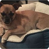 Pug Mix Dog for adoption in San Antonio, Texas - Georgie Girl