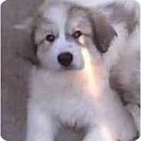 Adopt A Pet :: Ice-Purebred !! - Evansville, IN