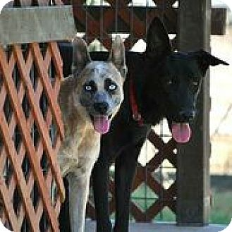 Australian Cattle Dog Mix Dog for adoption in Austin, Texas - Kimber