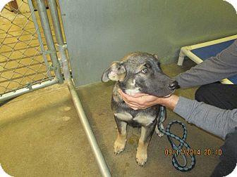 German Shepherd Dog Mix Puppy for adoption in Olney, Illinois - Malone