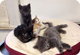 Domestic Mediumhair Kitten for adoption in Greensburg, Pennsylvania - Kookie