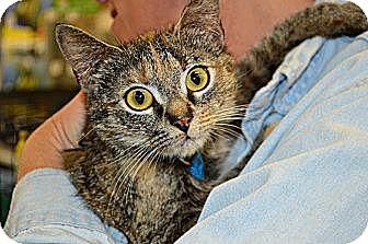Calico Cat for adoption in Spartanburg, South Carolina - Cali