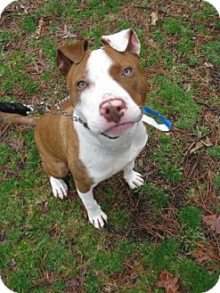 Pit Bull Terrier Mix Dog for adoption in Voorhees, New Jersey - Doyle