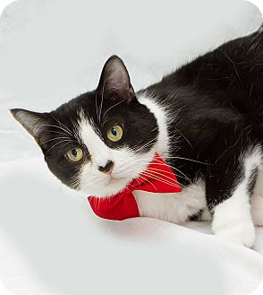 Domestic Shorthair Cat for adoption in Schererville, Indiana - Lucci