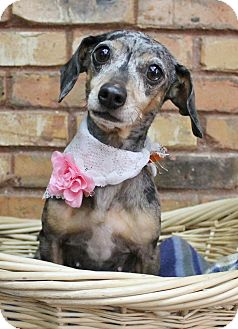Dachshund Mix Dog for adoption in Benbrook, Texas - Selena
