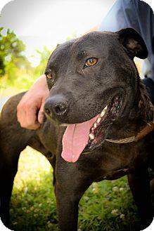 Labrador Retriever/Staffordshire Bull Terrier Mix Dog for adoption in Henderson, Tennessee - Bojax