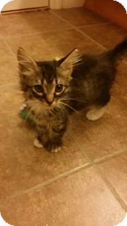 Domestic Mediumhair Kitten for adoption in Gainesville, Florida - Puff