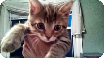 Domestic Shorthair Kitten for adoption in Sterling Heights, Michigan - Peanut