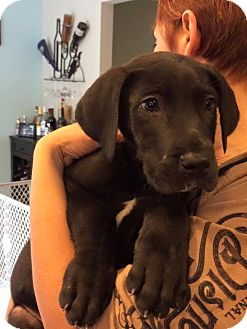 Great Dane Mix Puppy for adoption in Hammonton, New Jersey - bosley