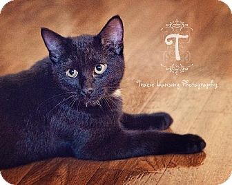Domestic Shorthair Cat for adoption in Lansing, Kansas - Felix