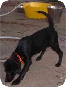 Terrier (Unknown Type, Medium)/Australian Shepherd Mix Puppy for adoption in Overland Park, Kansas - Cole