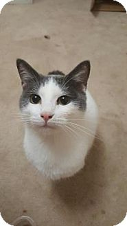Domestic Shorthair Cat for adoption in Wichita, Kansas - Bernardo