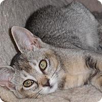 Adopt A Pet :: Casimia - North Highlands, CA