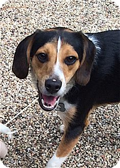 Beagle Mix Dog for adoption in Houston, Texas - Ricky