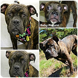 American Pit Bull Terrier/Boxer Mix Dog for adoption in Forked River, New Jersey - Lucho