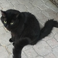 Domestic Mediumhair Cat for adoption in Lauderhill, Florida - Bandit