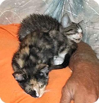 Domestic Shorthair Kitten for adoption in Jacksonville, Florida - Cali