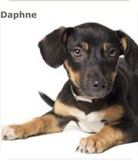 Dachshund/Miniature Pinscher Mix Dog for adoption in Columbus, Ohio - Daphne