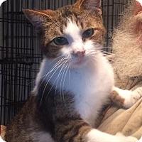 Domestic Shorthair Cat for adoption in Slidell, Louisiana - Rufus