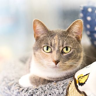 Calico Cat for adoption in Montclair, California - Pixel