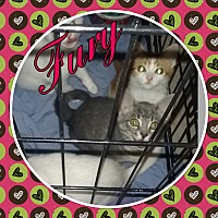 Adopt A Pet :: Fury - Cedar Springs, MI