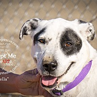 Adopt A Pet :: Bella - Gardnerville, NV