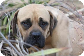 Bullmastiff Mix Dog for adoption in Riverside, California - Lacey