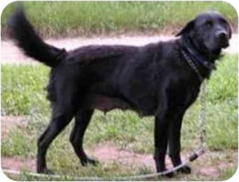 Retriever (Unknown Type) Mix Dog for adoption in Oxford, Michigan - Mona