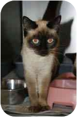 Siamese Cat for adoption in Arlington, Virginia - Lily & Lilac