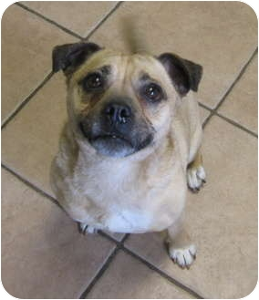 Pug/Chihuahua Mix Dog for adoption in Worcester, Massachusetts - Elvis