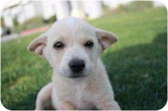 Australian Shepherd Mix Puppy for adoption in Studio City, California - Tessa