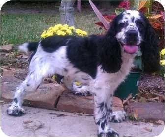 Cocker Spaniel Dog for adoption in Sugarland, Texas - Harper