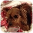 Photo 3 - Yorkie, Yorkshire Terrier Mix Puppy for adoption in Tallahassee, Florida - Charlie