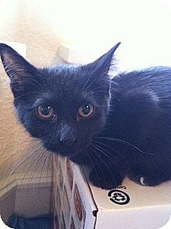 Domestic Shorthair Kitten for adoption in Austin, Texas - Kiki III