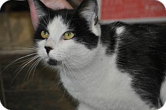 Domestic Shorthair Cat for adoption in Saint Albans, Vermont - Oreo